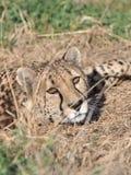 预警猎豹 免版税库存照片