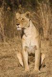 预警雌狮 免版税图库摄影