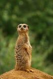 预警suricate 库存图片