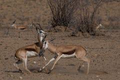 领土冲突,两只跳羚公羊承担互相 免版税库存图片