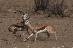 领土冲突,两只跳羚公羊承担互相 免版税库存照片