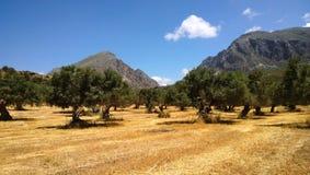 领域全景与生长橄榄树和山的在克利特海岛上的背景中 免版税库存图片