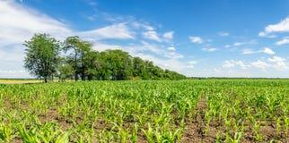 领域全景用玉米在夏天,俄罗斯新芽  免版税库存照片
