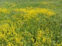 领域和草甸,黄色花,自然秀丽,花地毯,黄色领域,美丽的牧场地 库存照片
