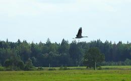 领域和飞行起重机鸟 库存照片