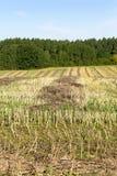 领域在收获油菜籽以后 库存图片