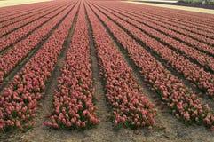 领域在荷兰上升了开花的风信花春天 免版税库存照片