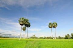 水稻领域在越南南方 免版税图库摄影