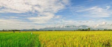 水稻领域在越南南方 免版税库存照片