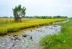 水稻领域在越南南方 图库摄影