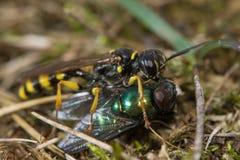 领域掘土蜂& x28; Mellinus arvensis& x29;飞行牺牲者 库存照片