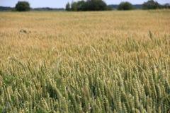 领域收获麦子 库存照片