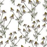 领域春黄菊的无缝的背景 向量例证