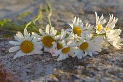 领域春黄菊迷人的花束  库存图片