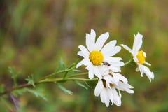 领域春黄菊,部分地podvyavsheie三朵花,在绿色被弄脏的背景 在雏菊那里坐小飞行 免版税库存照片