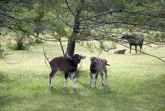 领域母牛  库存照片