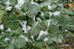 领域油菜子在冬天 库存图片