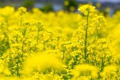 领域油菜籽花 库存图片