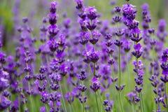 领域淡紫色花 库存照片