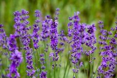 领域淡紫色花 免版税库存照片