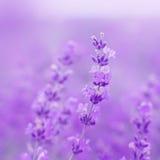 领域淡紫色花 免版税图库摄影