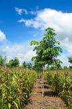 领域玉米和橡胶园 免版税库存图片