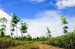 领域玉米和橡胶园 库存照片