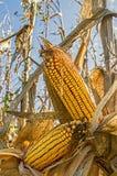 领域玉米的耳朵在茎的在农田 免版税库存照片