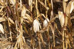 领域玉米,农业 免版税图库摄影