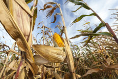 领域玉米,农业 免版税库存照片