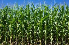 领域玉米 免版税库存图片