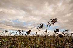 领域用凋枯的向日葵 免版税库存图片