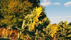 领域用向日葵在夏天 许多年轻向日葵生长看法的室外关闭 影视素材