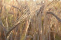 领域用在收获的大麦在日落 在金黄麦田的特写镜头 库存照片