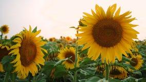 领域用开花的向日葵 股票录像