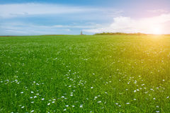 领域用开花的胡麻和蓝天 免版税库存照片