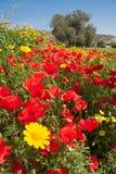 领域用红色鸦片、黄色雏菊和一棵橄榄树填装了在塞浦路斯 免版税库存照片