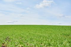 领域用绿色麦子和天空蔚蓝,春天 库存照片
