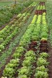 领域用莴苣在庭院里 免版税库存照片