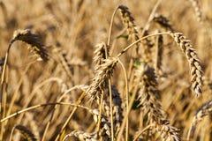 领域用黑麦 库存图片