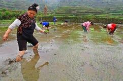 稻领域的中国农民妇女与米幼木在手中 免版税库存照片