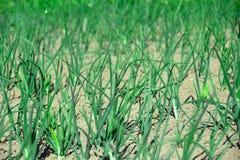领域的农业植物 年轻黄瓜葱 免版税库存图片