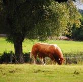 领域的布朗公牛 库存照片