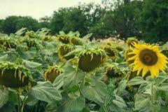 领域的开花的大向日葵向日葵植物在夏时 开花的明亮的黄色向日葵背景 图库摄影