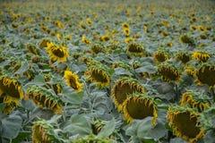 领域的开花的大向日葵向日葵植物在夏时 开花的明亮的黄色向日葵背景 库存照片