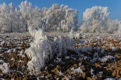 领域的弗罗斯特植物在冬天 免版税库存照片