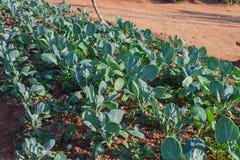 领域的新鲜的无头甘蓝植物 库存图片