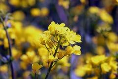领域的油籽种子植物 免版税图库摄影