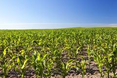 领域的玉米田 免版税图库摄影