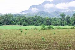 领域的玉米种植园 玉米耕种在农业农场 免版税库存图片
